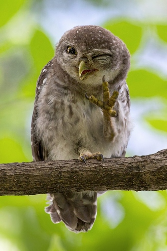 0_CATERS_WINKING_OWL_01-683x1024