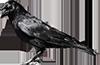 crow_PNG3114